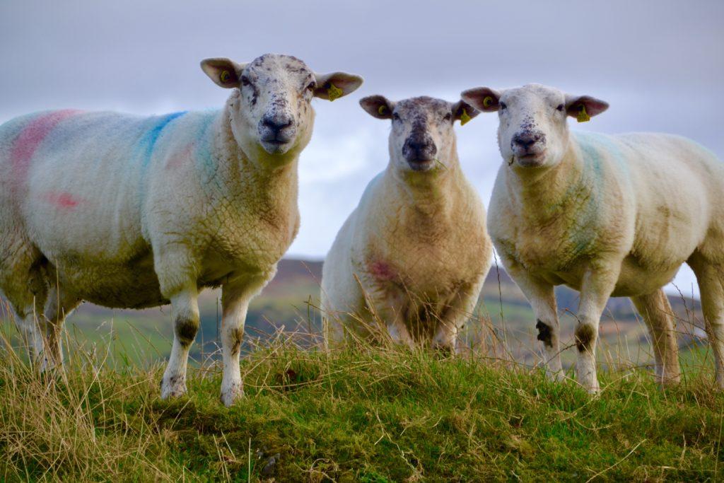 Sheep in Malin Head